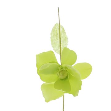 Helleborus Summer lemon